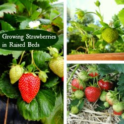 Growing-Strawberries-in-Raised-Beds-sq-250x250-57d68c948ca3ef15f0fc1848e236790527e2f20d